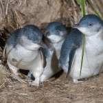 撬開洞穴、勾住脖子……紐西蘭瀕危小藍企鵝遭殘忍盜獵,頭部受傷慘死