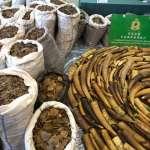 8300公斤的「藥用」鱗片,要屠殺多少穿山甲?香港查獲讓人寒心的破紀錄走私案