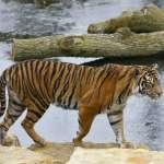 動物園也傳「家暴」!兩頭蘇門答臘虎「送作堆」初次約會就互看不順眼,母老虎慘死公老虎爪下