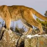 新「武松打虎」?美國男子慢跑遇襲 竟徒手掐死美洲獅