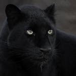110年來首度被拍到!超級罕見黑豹非洲現身 英國攝影師捕捉野生高清身影
