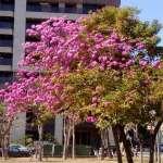 暖冬樹木提早開花 中市區公園及行道樹春節後陸續盛開