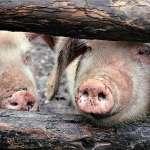越南宣告淪陷!8間養豬場感染非洲豬瘟,緊急展開撲殺防疫工作