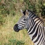 解開斑馬條紋之謎!加州大學最新研究:斑馬紋能避免蚊蟲叮咬,戶外運動可以學斑馬「穿條紋」