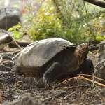 消失112年、疑絕種的「巨龜」,竟突然現身了!科學家急送育種中心,研判有繁殖可能!