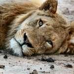 萬獸之王竟成「易危」物種》百年前歐洲殖民惡果 最新研究:非洲獅群基因多樣性嚴重流失!