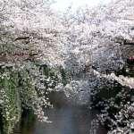 日本春季賞櫻》賞櫻最人氣景點「目黑川」:美麗之外的溫暖心意