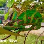 變色龍花紋改變,竟然跟身體狀況有關?北市動物園的顏色不尋常…原來是代表「有喜啦」!