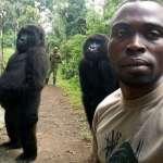 網路熱傳大猩猩帥氣自拍照,背後原因超催淚:牠們都是反盜獵中心養大的孤兒