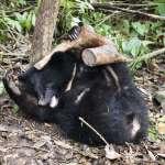 南安小熊妹要回家了!台灣黑熊訓練9個月將野放 「像嫁女兒一般不捨」