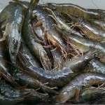 觀點投書:養殖白蝦存活率不到兩成?然後咧?