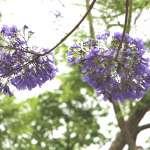 如夢似幻、邊開邊落,地面一片浪漫紫色……大台北少見的「藍花楹」盛開中