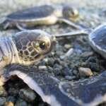 海龜的奇幻漂流》牠們遠渡千里來台產卵,還有這些你不知道的小秘辛!