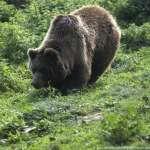 熊出沒、農民怒!法國與西班牙召開「熊峰會」尋求兩全之策
