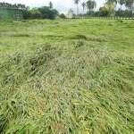 豪雨來襲 高市農業局赴水稻產區確認農損