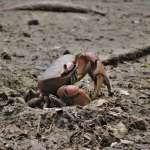 高雄援中港濕地陸蟹釋幼 驚奇有趣
