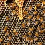 極端氣候.蜂群崩壞!去年冬天美國蜜蜂損失率創歷史新高