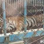 獅子在1坪大的空間住10年竟是合法列管!民團揭野生動物飼養悲歌 林務局承諾1個月內完成查核