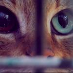 牠究竟是貓還是狐狸?法國小島發現全新物種「狐貓」可能源自千年前的非洲或中東!