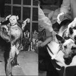 人類跟猩猩雜交會生出什麼?把一隻狗「合成」2顆頭還能活?揭前蘇聯4大超變態驚悚實驗…