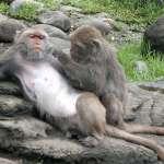 吃過虧就學乖、看同伴受傷就懂得遠離電網…農民嘆:台灣獼猴太聰明,只能用非常手段對付