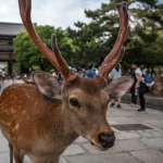 生態悲劇!日本奈良公園9隻鹿,吞食塑膠袋活活撐死