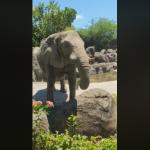 有靈性!遊客帽子掉溝槽,大象「聽到呼喚」幫忙撿回來 北市動物園:是幸運中的幸運