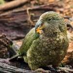 史前巨鸚!身高近1公尺、體重約6公斤 「大力士鸚鵡」曾經稱霸紐西蘭