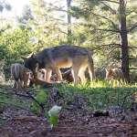 生態保育曙光》從絕跡到增加,加州唯一灰狼家族添了3隻狼寶寶!