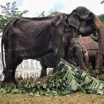 牠不是標本......斯里蘭卡70歲大象瘦到皮包骨 被迫載客長途遊行