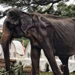 「安息吧,不要回頭看這殘忍的世界」還記得那隻瘦到骨頭「根根分明」的大象嗎? 70歲母象「蒂奇莉」不幸死亡