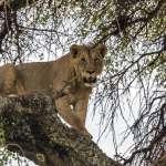 如果我們的後代看不到獅子…萬獸之王難敵「復仇式獵捕」數量驟減,東非馬賽原住民如何與獅群共生?