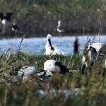黑面琵鷺駕臨 大高雄濕地論壇成果發表座談會登場