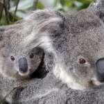 澳洲東部野火肆虐》數百無尾熊恐被烈火吞噬 濃煙吹向雪梨引發霾害