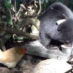 朱淑娟專欄:喜愛「熊麻雞」的你,是否也關心母雞的處境?