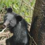 《黑熊來了》「孵了」11年!導演麥覺明籲:應把台灣黑熊列入不分區安全名單