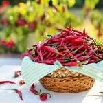 無辣不歡》人類是唯一敢吃辣椒的哺乳類動物!令人「痛並快樂著」的辣椒為何風靡全球?
