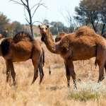 大屠殺!澳洲撲殺上萬隻野生駱駝 只為了這個奇怪的原因