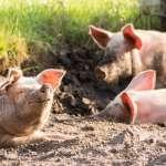 誰說畜牧業一定是高污染?全球最大豬肉出口國之一的丹麥,這樣提供解決方案