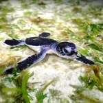 新發現!世界最美「海龜島」就在太平島 估上千隻海龜在這吃飯生Baby