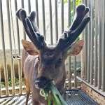 季節限定!養鹿生活新篇章 高雄鹿茸產季到來