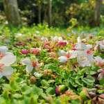 桐花祭系列活動 透過科技、影音傳播線上領略新北桐花之美