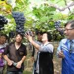 北半球第一顆早春葡萄在彰化 市售價格高
