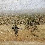 沙漠蝗蟲的恐怖真相:中國嚴防疫情入侵,每天能吃掉跟自己同重的食物