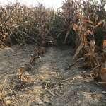 朱淑娟專欄:誰殺了台南後壁的玉米?