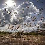 「牠們比新冠病毒還可怕!」非洲再度爆發蝗災,規模是前一波的20倍!