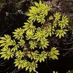 身世詭奇的華參:《通往世界的植物》選摘(3)
