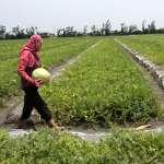 台灣氣候劇變》「有農地恐1年半沒收成」 綠委憂:不出貨客戶會跑掉