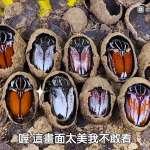 昆蟲界的寶石大王花金龜!單價破萬神秘土繭內藏玄機,龐大身軀不愧對「巨人之名」【影音】
