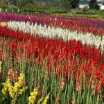 重現唐菖蒲盛世 中社花市發表新花色多達26個品種